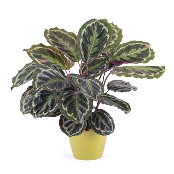 Plantas cestas planta de calathea interflora - Plantas de interior tipos ...