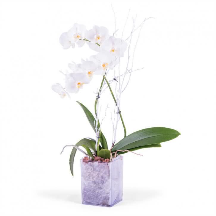 Lorena, Planta de phalaenopsis Blanca