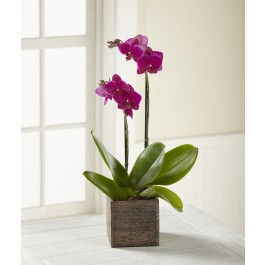 The FTD® Fuchsia Phalaenopsis Orchid, The FTD® Fuchsia Phalaenopsis Orchid