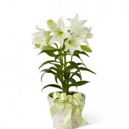 Easter Lily, AR#B26-4429 Easter Lily