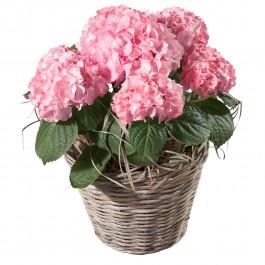Hydrangea (pink), Hydrangea (pink)