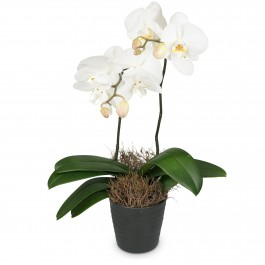 White Orchid (Phalaenopsis), White Orchid (Phalaenopsis)