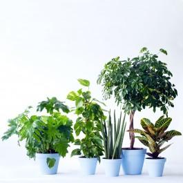 Single Plant, BE#SP.Single Plant