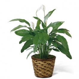 Spathiphyllum, CA#C28-4893 Spathiphyllum