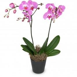Noble Orchid (plant), Noble Orchid (plant)