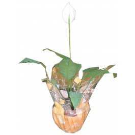 Planta Anthurium, DZ#DZ1B11 Planta Anthurium