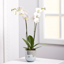 Orchid Plant, EE#EE703