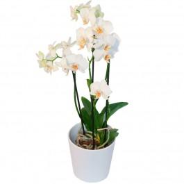 Orchid plant + pot, Orchid plant + pot