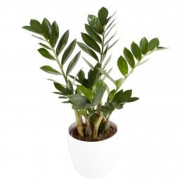 Zamioculcas plant, Zamioculcas plant