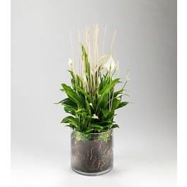 Plante, GL#440 Plante