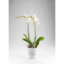 Orkide, GL#442 Orkide