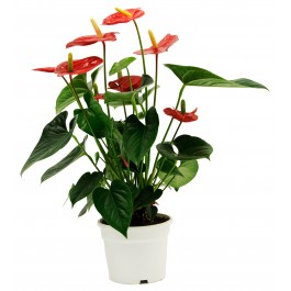 Anthurium, HR#Anthurium Anthurium