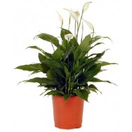 Spathiphyllum, IL#605 Spathiphyllum