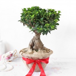 Bonsai Plant in Jute Wrapping with Plastic Planter, Bonsai Plant in Jute Wrapping with Plastic Planter