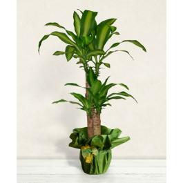 Dracena Pflanze, Dracena Pflanze