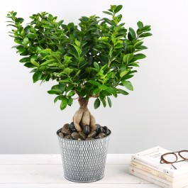 Ficus Ginseng, Ficus Ginseng
