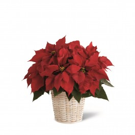 The FTD® Red Poinsettia Basket (Small), The FTD® Red Poinsettia Basket (Small)