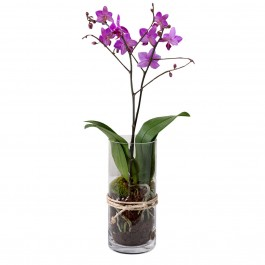 Pink Orchid, Pink Orchid in a glass vase