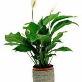 Single Plant, NO#SP Single Plant