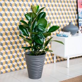 Ficus elastica Robusta, Entrega por Agencia en 24/48 H.