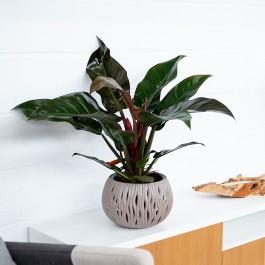 Philodendron Imperial Red Green, Entrega por Agencia en 24/48 H.