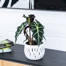 Alocasia Polly, Muy atractiva y fácil de cuidar, con hojas triangulares en dos tonos.