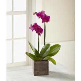 FTD Fuchsia Phalaenopsis Orchid,  FTD Fuchsia Phalaenopsis Orchid
