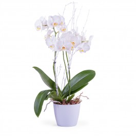 Phalaenopsis Premium Plant, Phalaenopsis Premium Plant