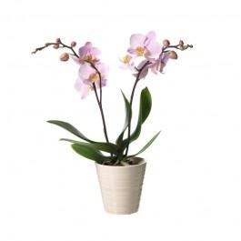 Single plant Phalaenopsis, Single plant Phalaenopsis