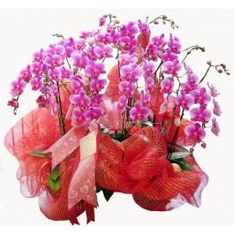 Imperial Phalaenopsis, TH#44 Imperial Phalaenopsis