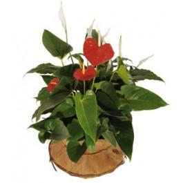 Composición vegetal, TR#4209 Composición vegetal