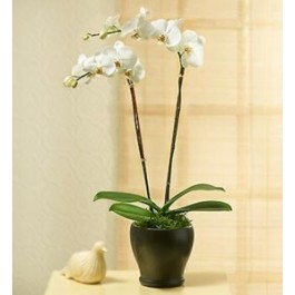 PHALEONOPSIS ORCHID PLAN IN POT WITH TWO STEMS, TR#4220 PHALEONOPSIS ORCHID PLAN IN POT WITH TWO STEMS