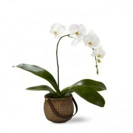 Phalaenopsis, UY#C29-4882 Phalaenopsis