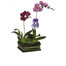 Orchidea Phalenopsis, VN#5006 Orchidea Phalenopsis