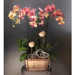 Phalaenopsis in wooden vase, Phalaenopsis in wooden vase