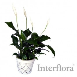 Planta, ZA#SP Planta