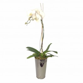 Orchid In Decorative Vase, Orchid In Decorative Vase