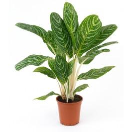 Planta verde, ZW#SP Planta verde