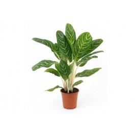 Planta individual con base, CL#PB Planta individual con base