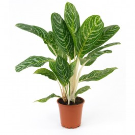 Single Plant, DE#SP Single Plant