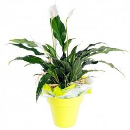 Planta individual con base, BR#PB Planta individual con base