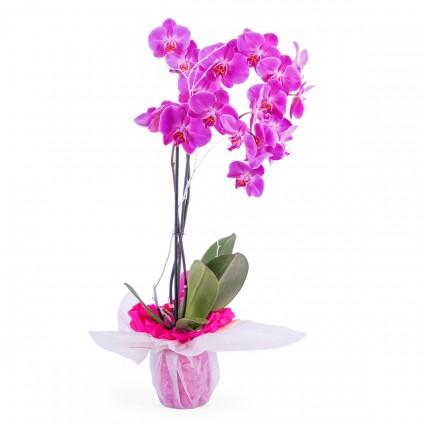 Índico, Planta de orquidea