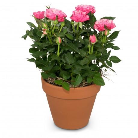 Loving surprise (rose plant), Loving surprise (rose plant)