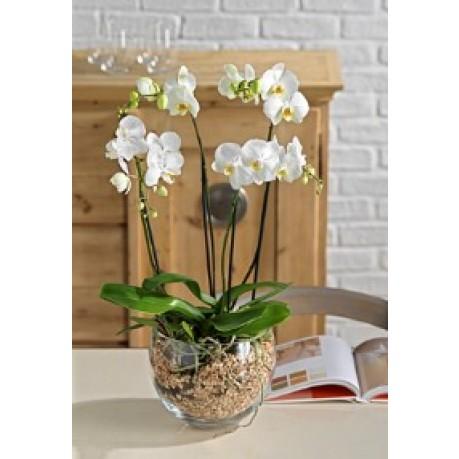 orchids plant LARGE, orchids plant LARGE