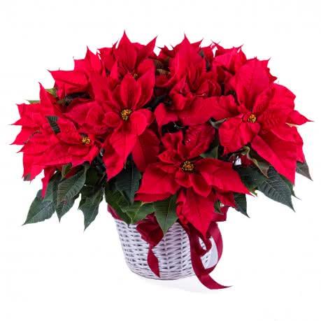 Cuarteto, Sinfonía especial de cuatro plantas de Poinsettias