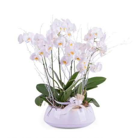 Recife, Centro de plantas de Phalaenopsis blancas