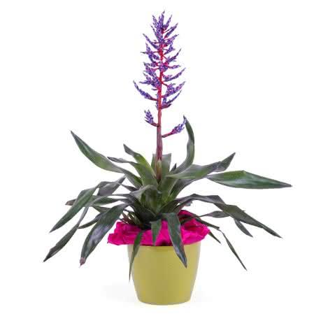 Bromelia, Planta de Viriesia (Bromelia)