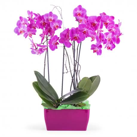 Merlot, Arreglo de orquideas Phalaenopsis