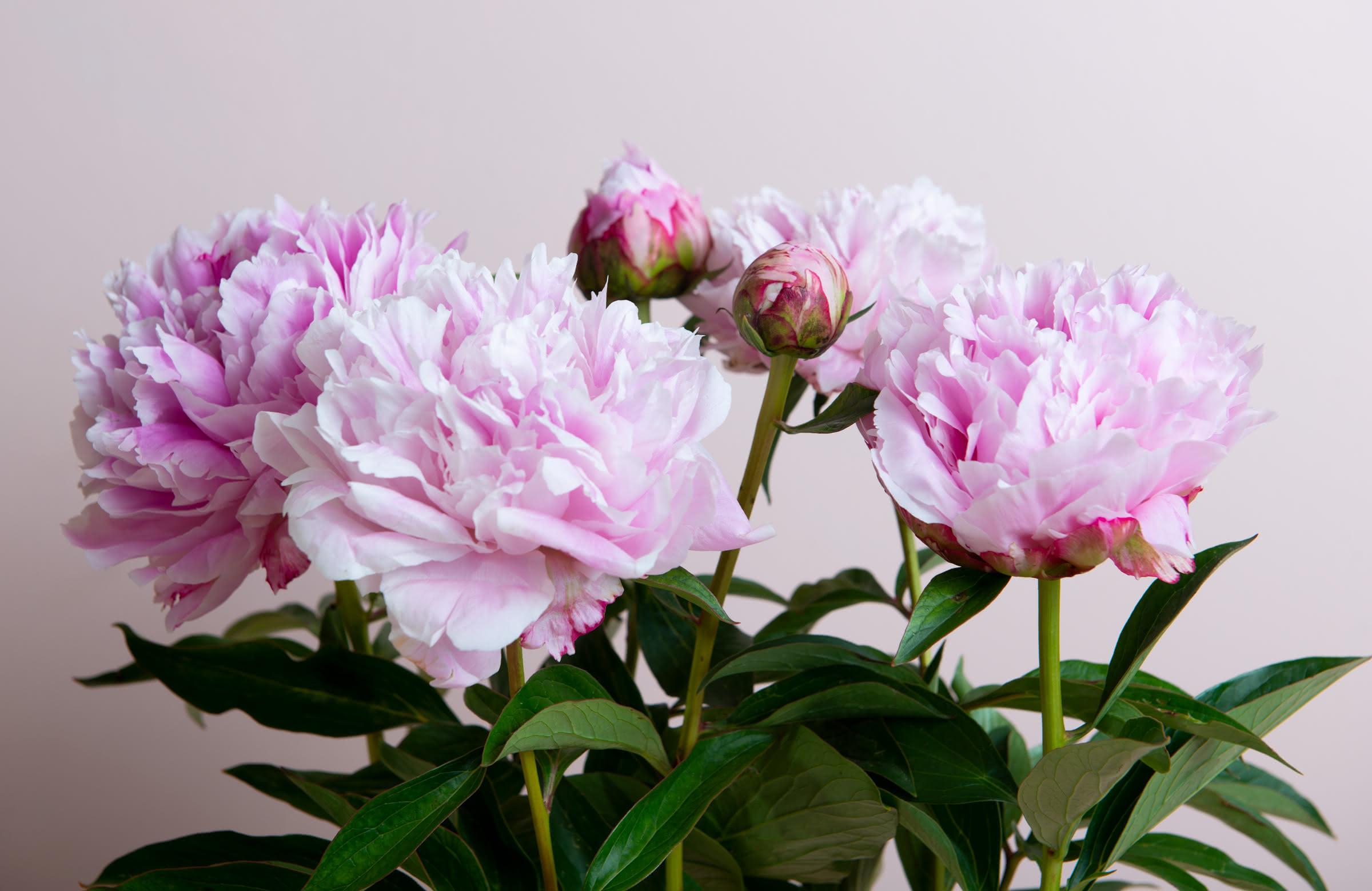 La peonía, una flor de amor, bodas y aniversarios