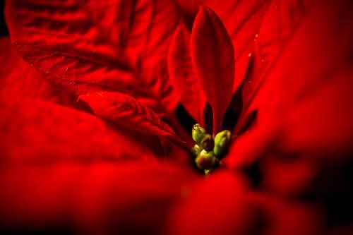 Tu flor de Pascua perfecta, otra Navidad